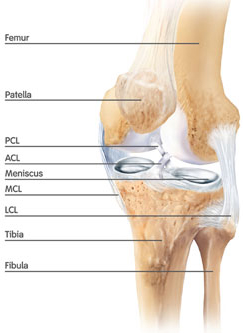 Knee anatomy centegra health system knee anatomy all information provided on this website is for information purposes only please see a healthcare professional for medical advice ccuart Choice Image